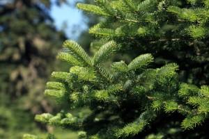 ein frischer tannenbaum